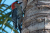 Red-bellied woodpecker, Estero, Florida; just in the middle of vocalizing.