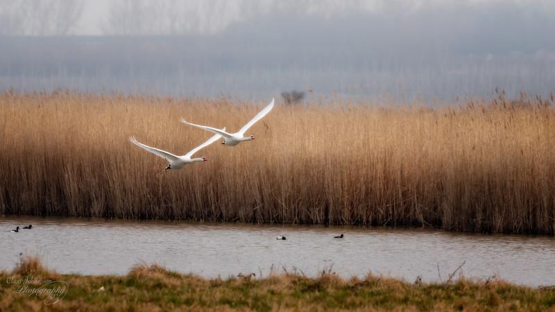 Mute Swan - Take Off