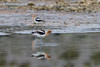 American Avocet, Mono Lake