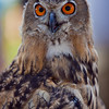 European Eagle Owl, 4 month old female. <br /> © 2010 Howard Pitkow. All Rights Reserved.