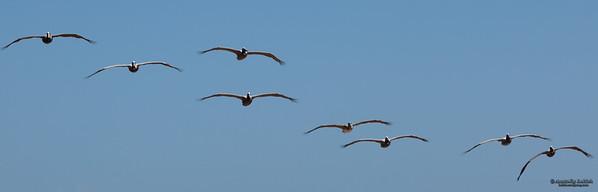 Brown Pelican (Pelecanus occidentalis) in flight