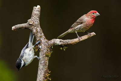 House Finch (Carpodacus mexicanus) and Black-capped Chickadee (Poecile atricapillus).
