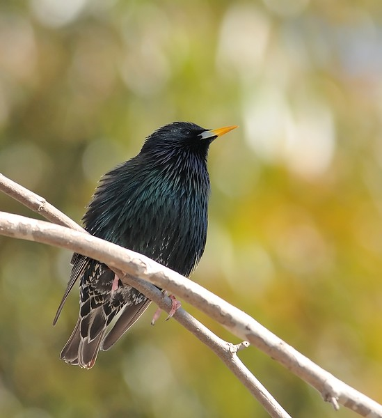 European Starling at Kit Carson Park,Escondido,CA.