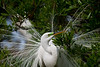breeding plumage, great egret