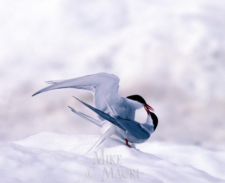 Arctic terns on floe ice