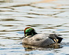 the falcated duck returns to Colusa NWR for a second winter