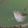Greenish Warbler I think
