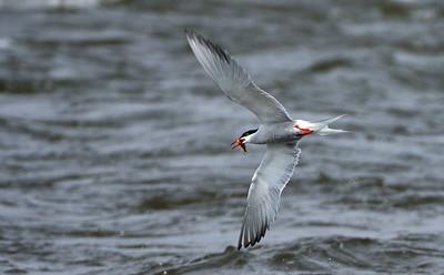 Tern fishing