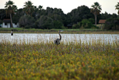 Great Blue Heron, Goose Island, Rockport TX