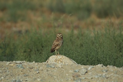 burrowing owl sitting proud  on a rock 4 x 6