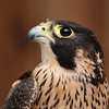 Peregrine Falcon at Coachella Valley Wild Bird center,Indio,CA.