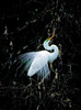 white-egret-in-tree-