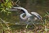 Tricolor heron, Everglades National Park