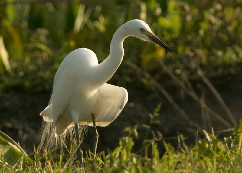 Egret with a sore wing