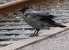Hooded Crow<br /> Silkeborg Train Station