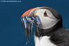 Atlantic Puffin with Sandeels