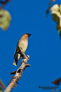 Cedar Waxwing (Bombycilla cedrorum).  The Cedar Waxwing (Bombycilla cedrorum) is a member of the family Bombycillidae or waxwing family of passerine birds.  Американский свиристель, или кедровый свиристель.