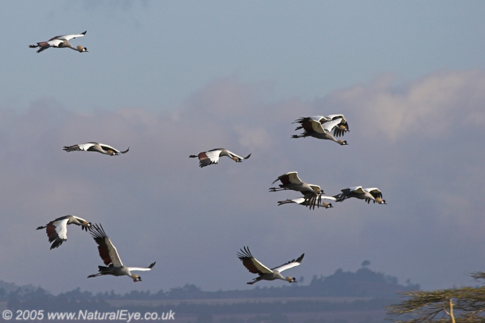 African Crowned Cranes in flight, Lewa Wildlife Conservancy, Kenya