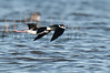 black-necked stilt pair in flight