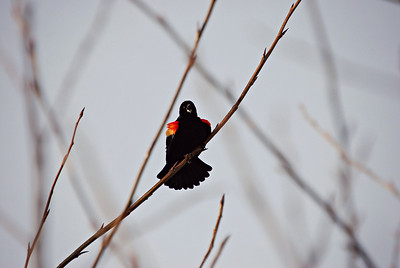 Singing Male Red-Winged Blackbird, Magnuson Park