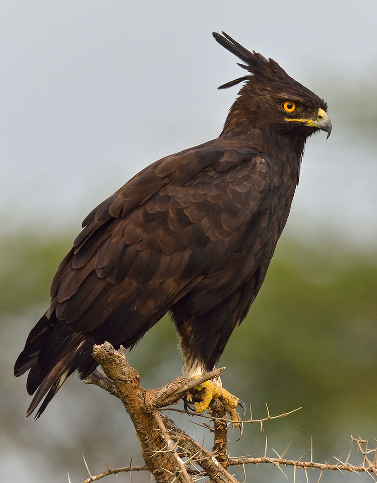 Long_Crested_Eagle 2