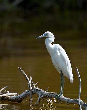 Juvenile little blue heron, Eco Pond, Everglades