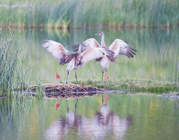 Sandhill cranes with chicks nesting at Floating Island Lake, Yellowstone