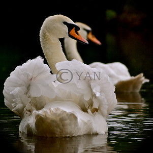 Syncro Swans