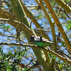Brown-headed Parrot - Poicephalus cryptoxanthus