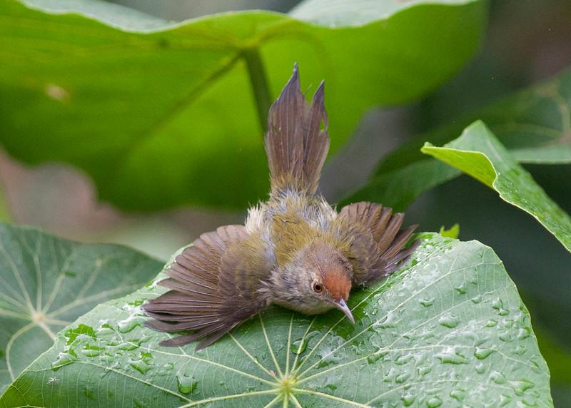 Tailorbird having a bath
