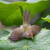 Tailorbird having a bath