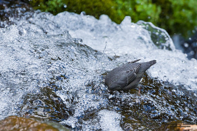 American Dipper (Cinclus mexicanus).  The American Dipper is North America's only truly aquatic songbird.  Американская оляпка.