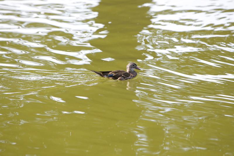 Brudand - Wood Duck - Aix sponsa<br /> Bukarest, Rumänien<br /> <br /> .