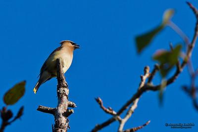 Cedar Waxwing (Bombycilla cedrorum).  The Cedar Waxwing (Bombycilla cedrorum) is a member of the family Bombycillidae or waxwing family of passerine birds.  Американский свиристель, или кедровый свиристель.