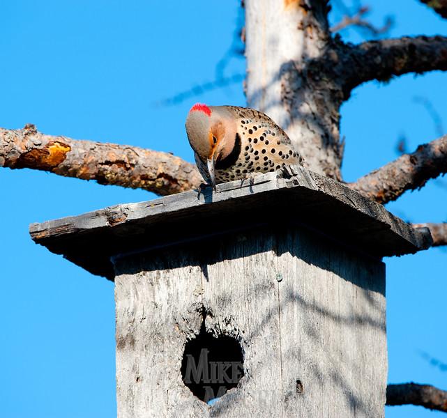 Flicker claiming nest box.