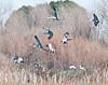 group landing of sandhill cranes