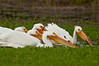 Prowling White Pelicans