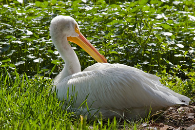 American White Pelican (Pelecanus erythrorhynchos). The American White Pelican is a large aquatic bird from the order Pelecaniformes.