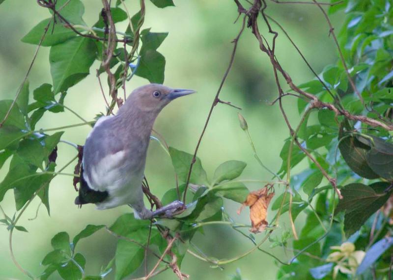 White Shouldered starling