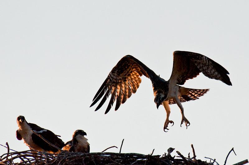 Osprey lands in the nest