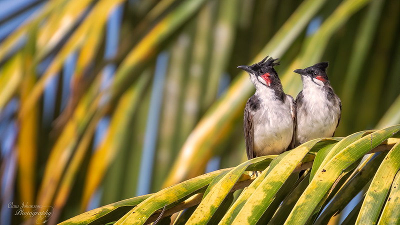 A love couple bulbuls