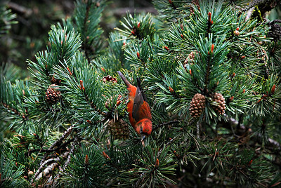 Red Crossbill, Green Lake Seattle