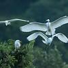 Egrets roosting