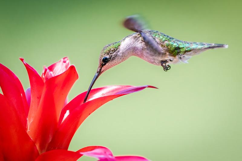 Humingbird