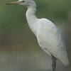 Winter portrait of Cattle Egret