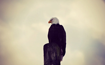 Bald Eagle, Ketchikan Alaska 2014