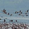 Hyena kill of swimming Lesser Flamingo - Lake Nakuru