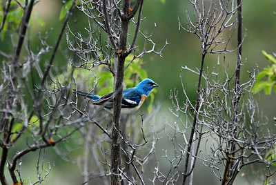Lazuli Bunting, Umtanum Canyon WA 2013