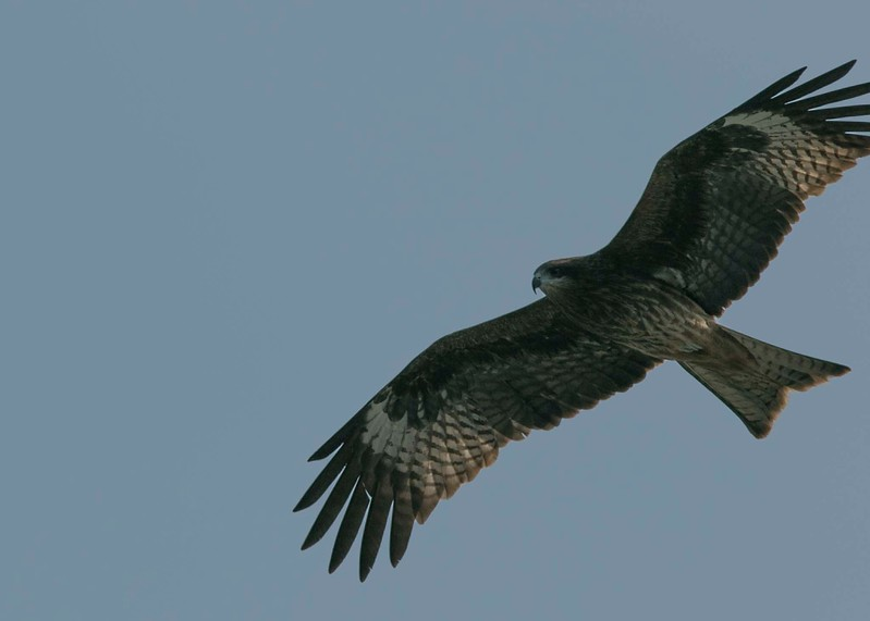 Black Kite from Cheung Chau