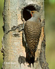 Northern Flicker Red-shafted Male _BGP1578